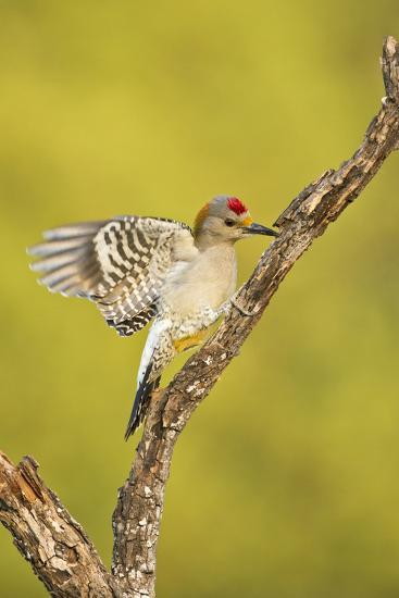 Golden-Fronted Woodpecker Bird, Male Perched in Native Habitat, South Texas, USA-Larry Ditto-Photographic Print