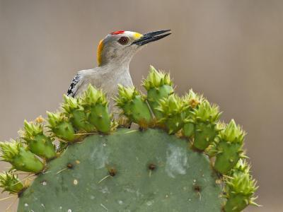Golden-Fronted Woodpecker, Texas, USA-Larry Ditto-Photographic Print
