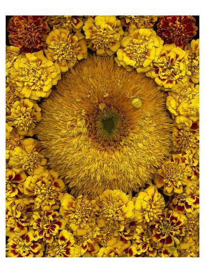 Golden Garden Sunflowers & Marigolds--Art Print