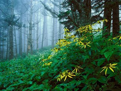 Golden-Glow Flowers, Great Smoky Mountains National Park, North Carolina, USA-Adam Jones-Photographic Print