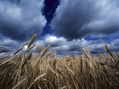Golden Heads of Wheat in a Field under a Vast, Turbulent Sky-Annie Griffiths Belt-Photographic Print