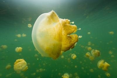 Golden Jellyfish Float in Jellyfish Lake, a Freshwater Lake on Palau-Michael Melford-Photographic Print