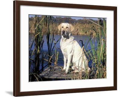 Golden Labrador Retriever Dog Portrait, Sitting by Water-Lynn M. Stone-Framed Photographic Print