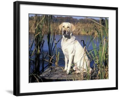 Golden Labrador Retriever Dog Portrait, Sitting by Water-Lynn M. Stone-Framed Photographic Print