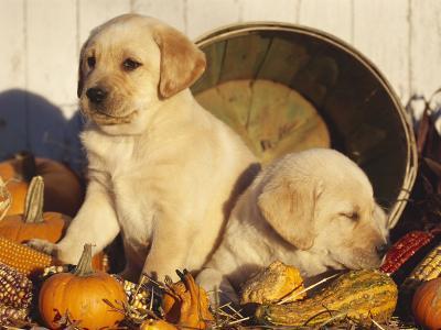 Golden Labrador Retriever Puppies, USA-Lynn M^ Stone-Photographic Print