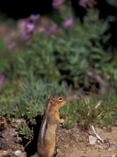 Golden Mantled Ground Squirrel, Mt. Rainier National Park, Washington, USA--Photographic Print