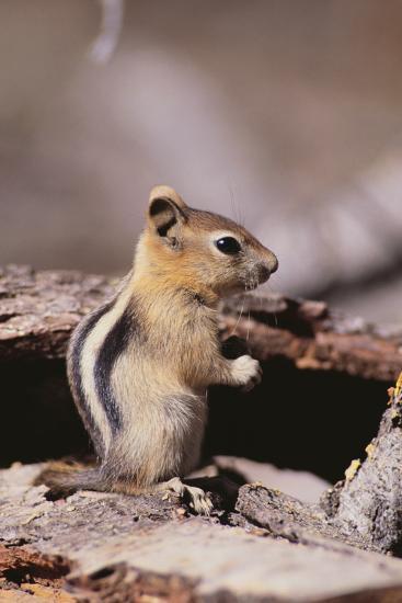 Golden-Mantled Ground Squirrel-DLILLC-Photographic Print