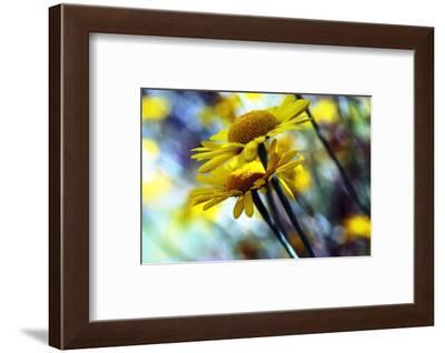 Golden marguerite (Anthemis tinctoria)-Angela Marsh-Framed Photographic Print