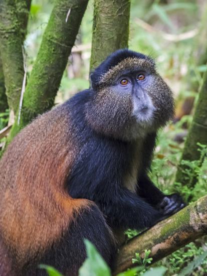Golden Monkey, Cercopithecus Mitis Kandti, in the bamboo forest, Parc National des Volcans, Rwanda-Keren Su-Photographic Print