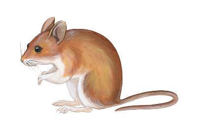 Golden Mouse (Peromyscus Nuttalli), Mammals-Encyclopaedia Britannica-Art Print