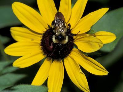 Golden Northern Bumble Bee on Black-Eyed Susan-Adam Jones-Photographic Print