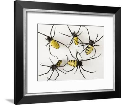 Golden Orb Spiders-Joel Sartore-Framed Photographic Print