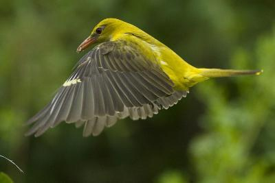 Golden Oriole (Oriolus Oriolus) Female in Flight to Nest, Bulgaria, May 2008-Nill-Photographic Print
