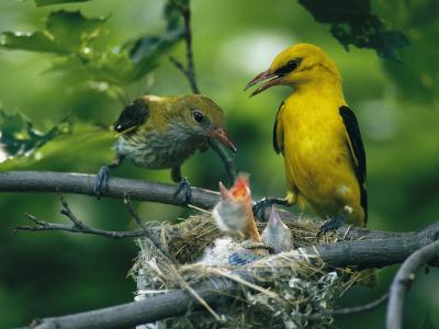 Golden Orioles Feeding Their Nest of Hungry Chicks-Klaus Nigge-Photographic Print
