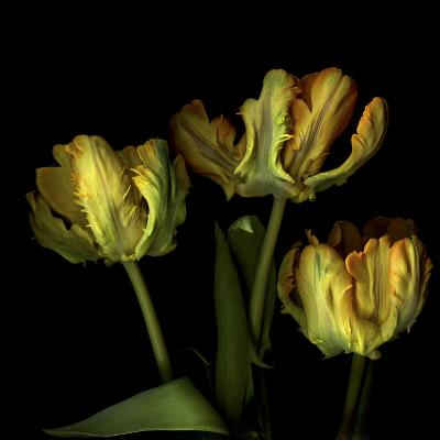 Golden Parrot Tulips-Magda Indigo-Photographic Print