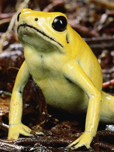 Golden Poison Dart Frog (Phyllobates Terribilis), the Most Poisonous of the Dart Frogs-Mark Moffett-Photographic Print