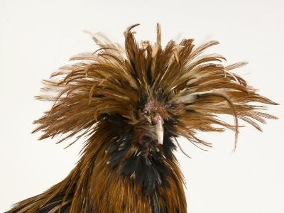 Golden Polish Chicken-Joel Sartore-Photographic Print