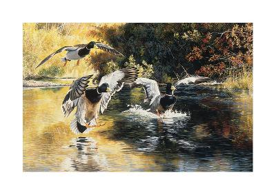 Golden Pond Mallards-Andrew Kiss-Art Print