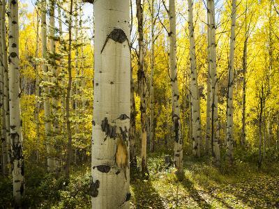 Golden Quaking Aspen in Full Fall Color, Kinney Creek, Colorado-Maresa Pryor-Photographic Print