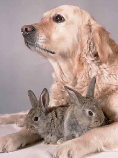 Golden Retriever, and Young Domestic Rabbits-De Meester-Photographic Print