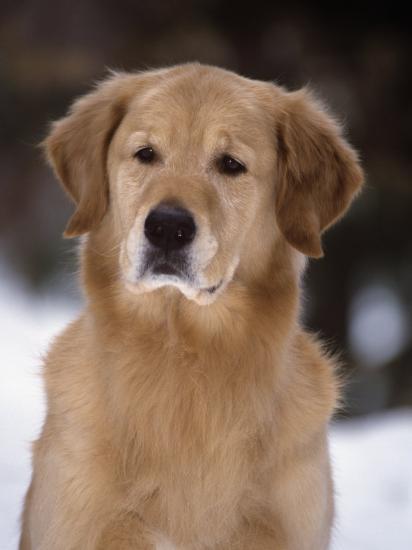 Golden Retriever Breed of Domestic Dog-Cheryl Ertelt-Photographic Print