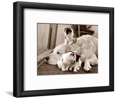 Golden Retriever Dog Adopts Kittens, 1964