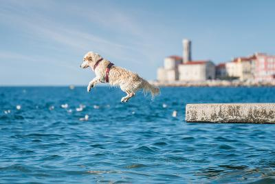 Golden Retriever Dog Jumping into Sea- sonsam-Photographic Print