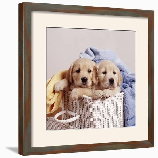 Golden Retriever Dog Two Puppies in Laundry Basket--Framed Photographic Print