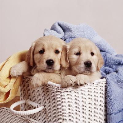 https://imgc.artprintimages.com/img/print/golden-retriever-dog-two-puppies-in-laundry-basket_u-l-q1069kv0.jpg?p=0