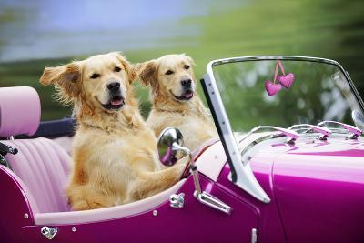 Golden Retriever Dog, Two Valentine Dog Couple in Car--Photographic Print