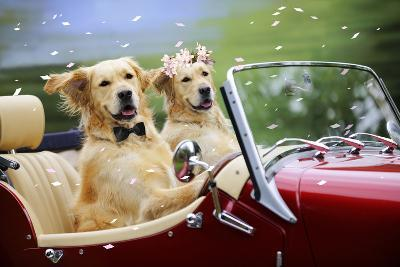 Golden Retriever Dog Wedding Couple in Car with Confetti--Photographic Print