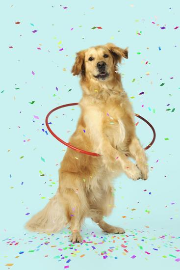 Golden Retriever Doing Hoola Hoop with Falling Confetti--Photographic Print