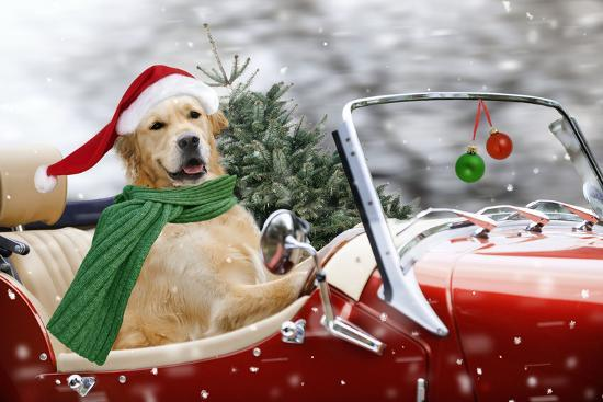 Golden Retriever Driving Car Collecting Christmas Tree--Photographic Print