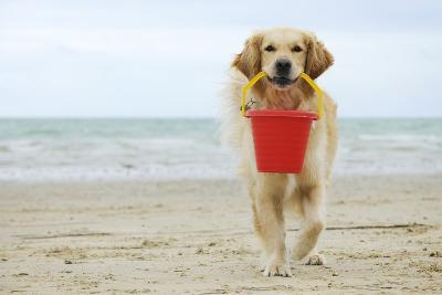 Golden Retriever Holding Bucket--Photographic Print