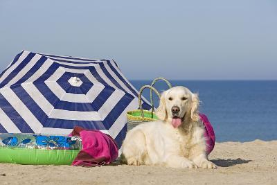 Golden Retriever on the Beach--Photographic Print