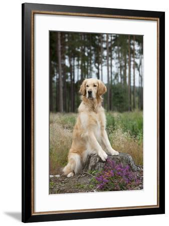 Golden Retriever on Tree Stump--Framed Photographic Print
