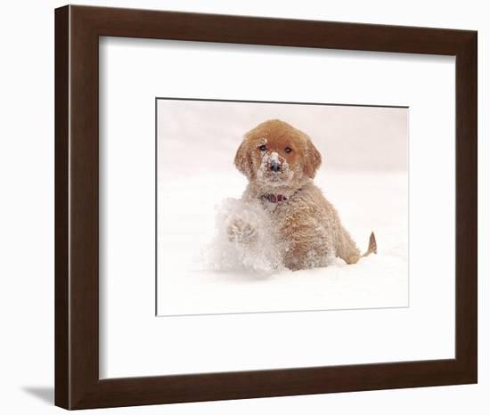 Golden Retriever Pup in Snow-Chuck Haney-Framed Photographic Print