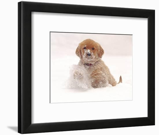 Golden Retriever Pup in Snow-Chuck Haney-Framed Photographic Print