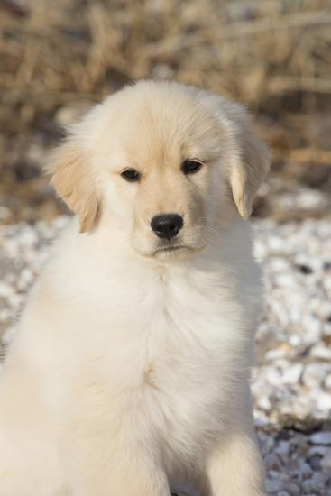 Golden Retriever Pup--Photographic Print