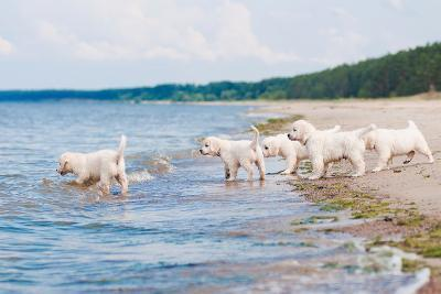 Golden Retriever Puppies At The Sea-ots-photo-Photographic Print