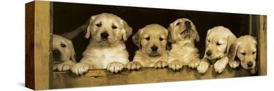 Golden Retriever Puppies--Stretched Canvas Print