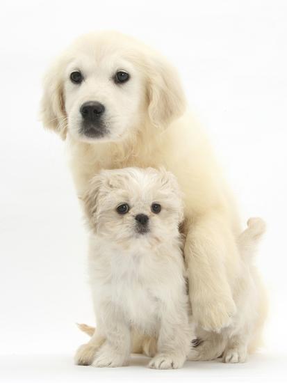 Golden Retriever Puppy, 16 Weeks, with Cream Shih-Tzu Puppy, 7 Weeks-Mark Taylor-Photographic Print