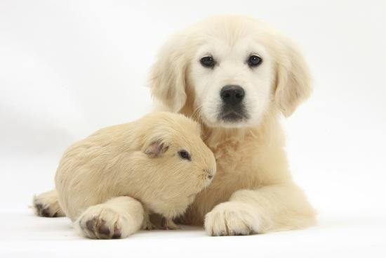 Golden Retriever Puppy, Daisy, 16 Weeks, and Yellow Guinea Pig Photographic  Print by Mark Taylor | Art com