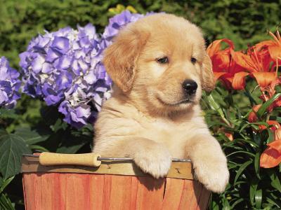 Golden Retriever Puppy in Bucket (Canis Familiaris) Illinois, USA-Lynn M^ Stone-Photographic Print