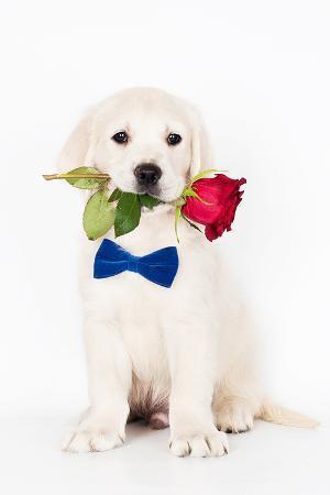 golden-retriever-puppy-rose