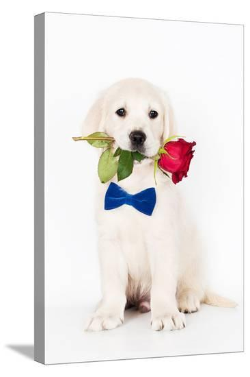 Golden Retriever Puppy & Rose--Stretched Canvas Print