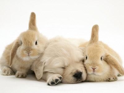 'Golden Retriever Puppy Sleeping Between Two Young Sandy ...