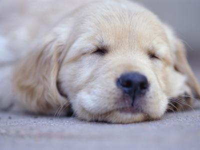 Golden Retriever Puppy Sleeping--Photographic Print