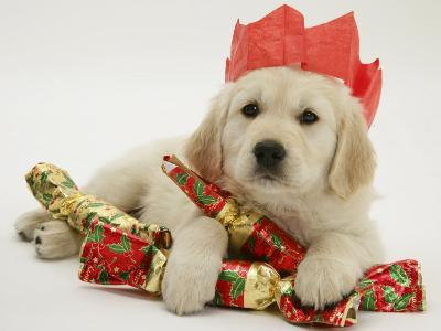 Golden Retriever Puppy with Christmas Crackers Wearing Paper Hat-Jane Burton-Photographic Print