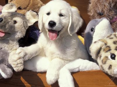 Golden Retriever Puppy with Toys-Lynn M^ Stone-Photographic Print